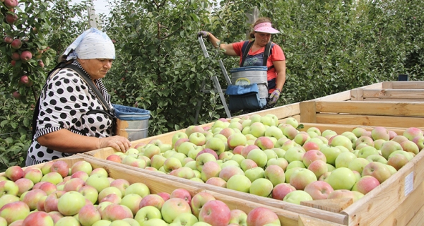 Местных яблок в магазинах должно быть больше